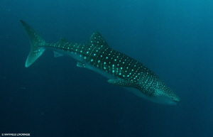 whale shark portrait by Raffaele Livornese 